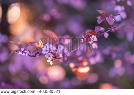 Branch Of A Blossoming Flowers Against Sunset Sky. Spring Nature Background, Dream Blur Bokeh Sunlig