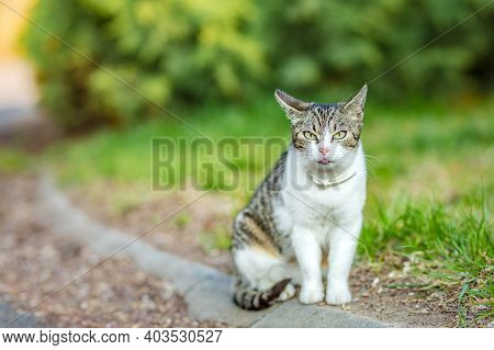 Gray And White Cat That Look Like Stray Cat Sat On The Street By Side Lawn In The Garden.
