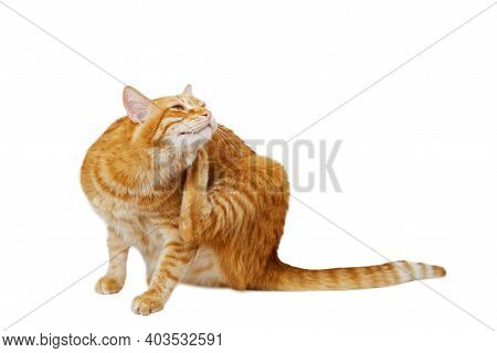 Ginger Cat Scratches Itself With Its Hind Paw. Isolated On White. Shallow Focus.