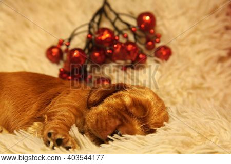 A Golden English Cocker Spaniel Puppy Sleeping On The Golden Blanket. Very Cute Puppy Lying And Slee