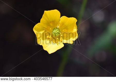 Erantis (spring) Family Of Buttercup, Growing In Garden. Erantis Spring Family Of Buttercup. Close U