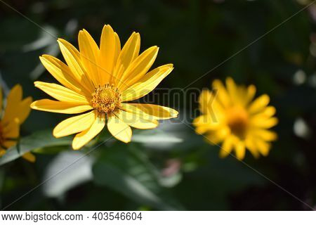 Yellow Flowers. Blooming Flowers In The Garden. Heliopsis. Sunflower Family. Yellow Daisy Flowers. C