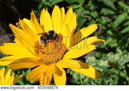 Bumble Bees Or Honeybees Pollinating On False Sunflowers Or Heliopsis Helianthoides In The Garden On