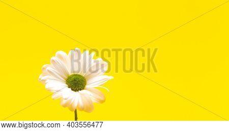 Closeup White Daisy Flower On Yellow Background