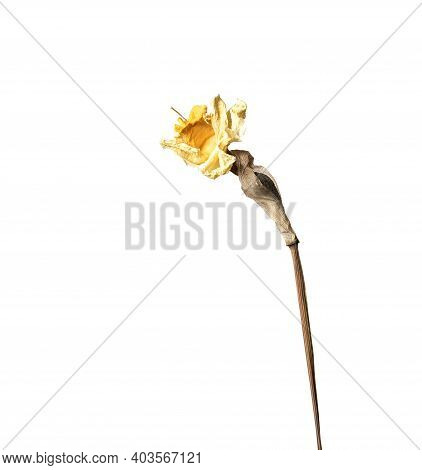 Dry Narcissus, Isolated On A White Background Dry Flower With Crumpled Parts Of Dry Leaves And Petal