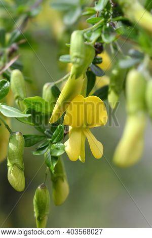 Chinese Pea Shrub Flowers - Latin Name - Caragana Sinica