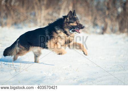 A Large Dog Of Breed German Shepherd Walks In The Fresh Air. German Shepherd Training.