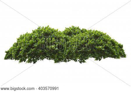 Green Bush Isolated On White Background. Environment, Botany