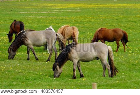 Herd Of Horses On A Grass Field In Iceland During Summer
