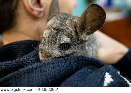 Playful Cute Little Gray Chinchilla At Home