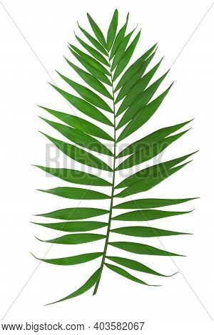 Green Leaves Of Palm Tree. Png File With Transparent Background.
