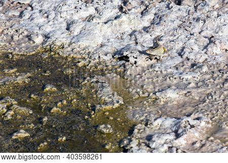 A Fabian Lizard At Chaxa Lagoon, A Salt Water Lake