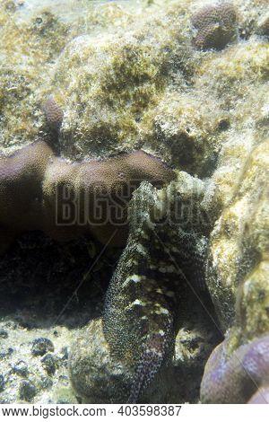 Close View Of Salarias Fasciatus Fish In Indonesia