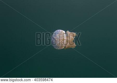 Photo Of Mastigiidae Stingless Jellyfish At Mariona Lake