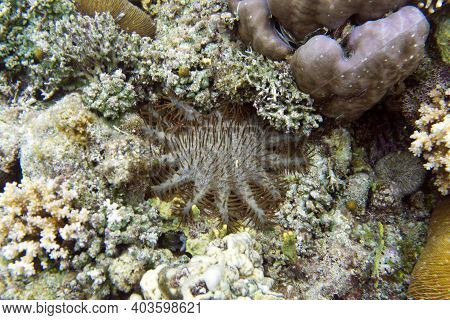 View Of Crown Of Thorn Starfish In Togian Islands