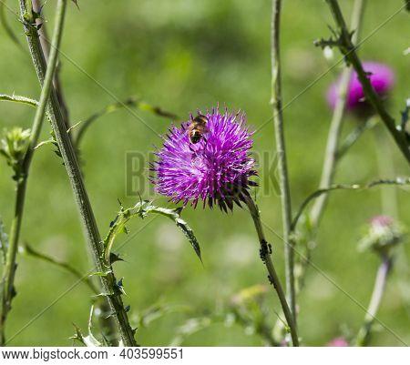 A Bee On Carduus Defloratus Flower