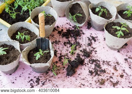 Seedling. Tomato Seedling Transplanting Process. Young Vegetable Seedlings Of Tomatoes Transplanting