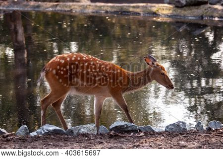 Female Spotted Deer Or Chital Stands Near The Water.