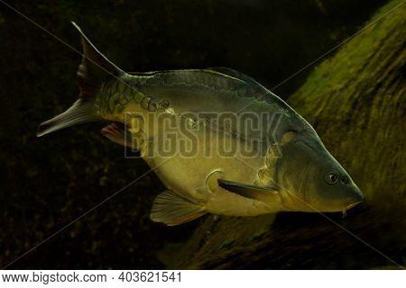 The Common Carp, European Carp (cyprinus Carpio) In Aquarium.
