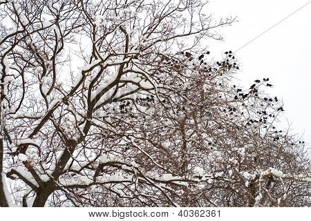 Paranormal Symbol Of Black Ravens