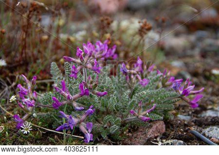 Arctic Oxytrope Or Locoweed (oxytropis Arctic) In Full Bloom Near Arviat, Nunavut Canada
