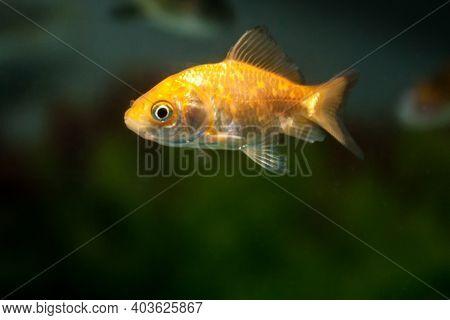 Gold Fish Swimming In Fresh Water Aquarium Tank