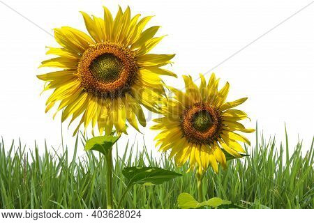 Sunflower Isolated On White Background.flowering Sunflower In The Field. Sunflowers Have Abundant He
