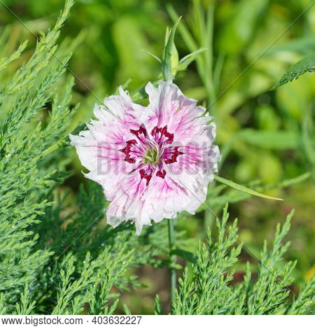 Blooming Chinese Carnation (lat. Dianthus Chinensis) Close-up