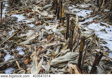 Golden Brown Corn Stalks, Stubble And Corn Debris. Cornfield In Early Winter
