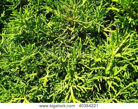 Green texture from branches of a thuja