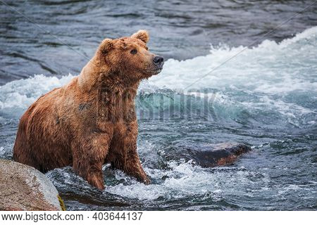 Grizzly Bear In The Water Of Brooks River