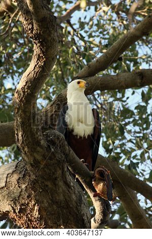 The African Fish Eagle (haliaeetus Vocifer) Sitting On The Branch With A Catfish In Its Talons.