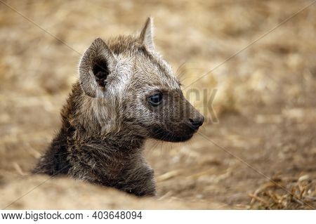 Spotted Hyena Cub (crocuta Crocuta) In Profile. Kruger Park, South Africa