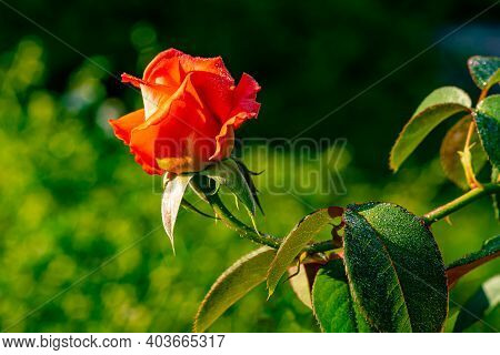 Red Rose And The Natural Dewdrops On Petals And Leaves In The Morning Sunlight.