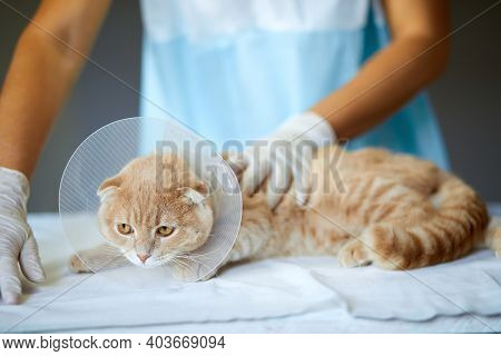 Veterinarian Doctor Is Making A Check Up Of A Cute Beautiful Cat With Plastic Cone Collar
