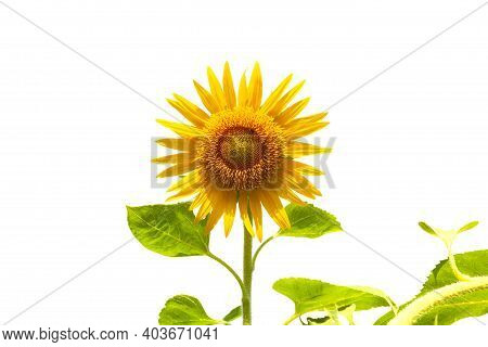 Beautiful Sunflower As Isolated On White Background.