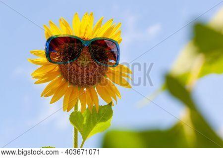 Beautiful Sunflower Wearing Sunglasses In The Garden.