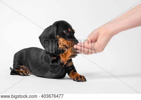Woman Owner Hand Giving Delicious Treat To Adorable Playful Purebred Dachshund Puppy Lying On White