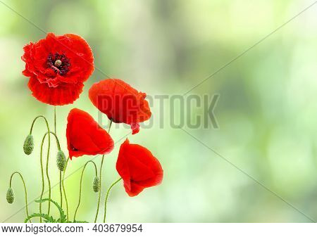 Red Poppy Flowers (common Names: Common Poppy, Corn Poppy, Corn Rose, Field Poppy, Flanders Poppy, R