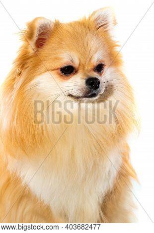Pomeranian On A White Background Close-up. A Dog. Pomeranian Isolate