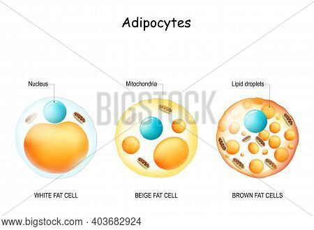 Adipocyte. Types Of Lipocytes: White Fat Cell, Brown And Beige Fat Cells. Comparisons And Difference
