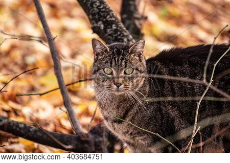 A Gray Cat Sits In The Bushes And Looks At The Camera. Cat In The Autumn Park.