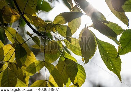 Beautiful Green Branches With Sun Flares In The Forest. Green Leaves With Backlight.