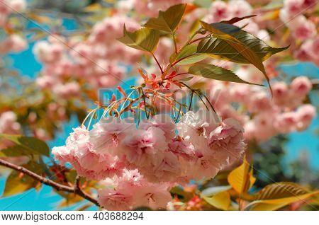 Spring Blossom On Blue Sky. Spring Background With Flowering Japanese Oriental Cherry Sakura Blossom
