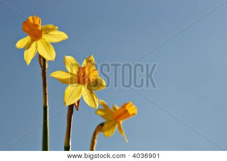 Three Yellow Daffodils