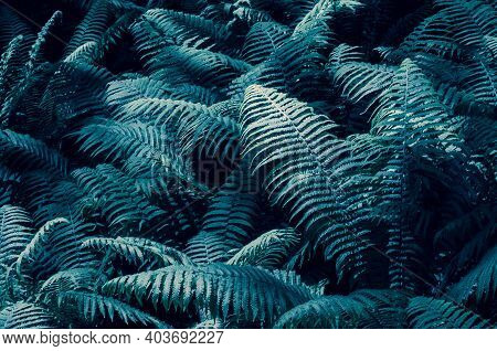 Tidewater Colour Ferns Leaves Foliage Natural Floral Fern Background In Sunlight. Great Tidewater Bu