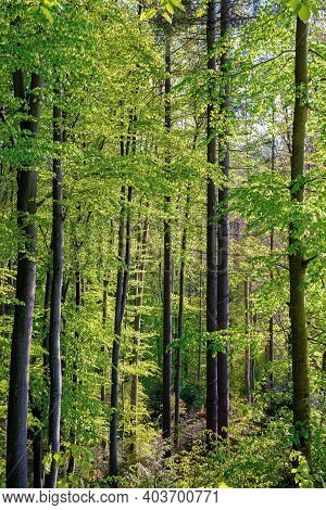 Beech Trees With Fresh Green Foliage In Sunlight. Beautiful Nature Forest Scenery In Spring