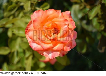 Beautiful Rose And Orange Roses In Garden. Blooming Roses. Orange Roses Blooming On The Tree In The
