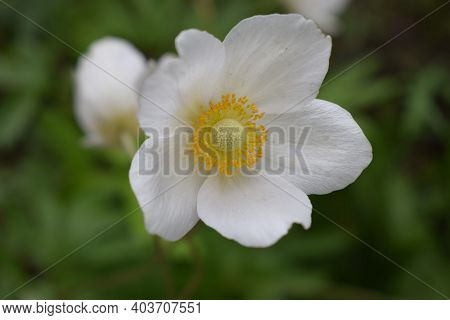 Close Up Of White Windflower, Anemone 'wild Swan'. Blurred Background. Anemone Hybrida (japanese Ane