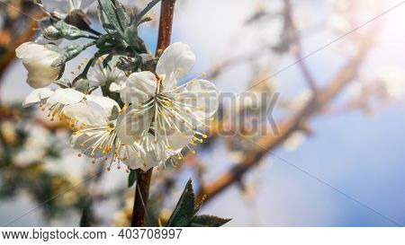 Cherry Blossoms, Cherry Blossoms In The Garden On A Background Of Blue Sky